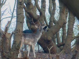 In het kreupelbos vlakbij kasteel Westhove staan we oog in oog met een groepje damherten (Wouter de Vries)